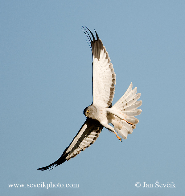 Photo of moták pilich Circus cyaneus Hen Harrier Kornwe