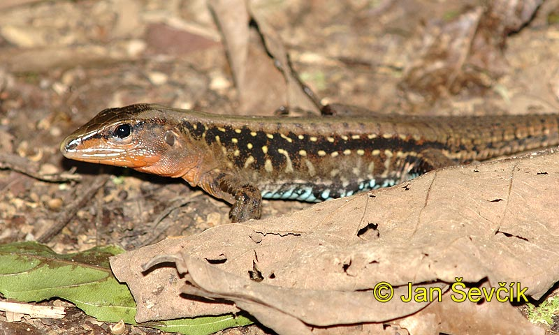 Photo of Ameiva festiva Central American whiptailed Lizard Largartija Chisbala