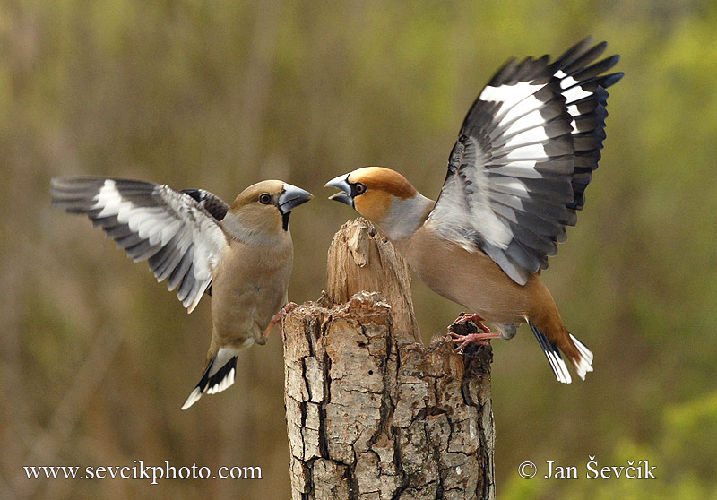Photo of dlask tlustozobý Coccothraustes coccothraustes Hawfinch Kernbeisser