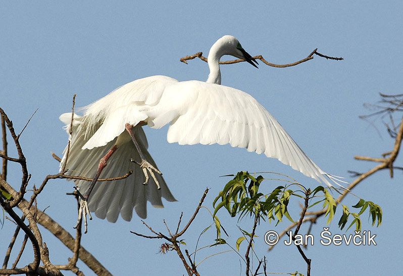 Photo of volavka bílá Egretta alba Great Egret Silberreiher