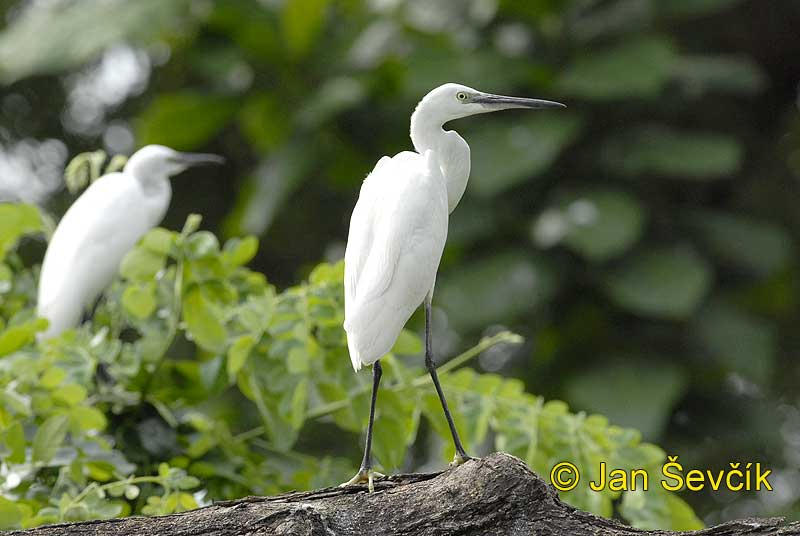 Photo of volavka stříbřitá, Egretta garzetta, Seidenreiher, Little Egret