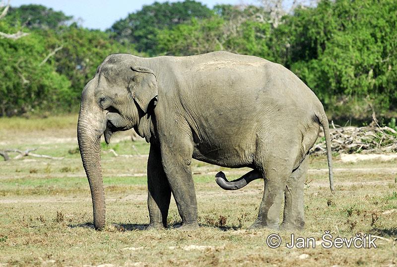 african elephant penis