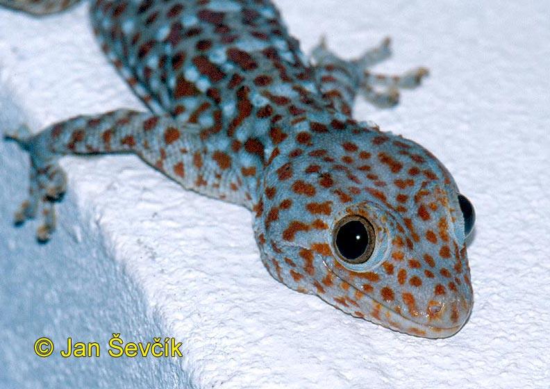 Photo of gekon obrovský tokay gecko tokeh tokee gekko gecko