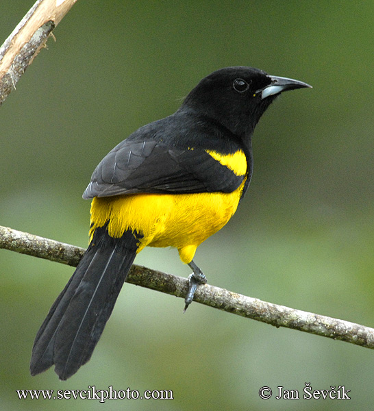 Photo of trupiál karibský Icterus dominicensis Black-cowled Oriole Bolsero Capuchinegro