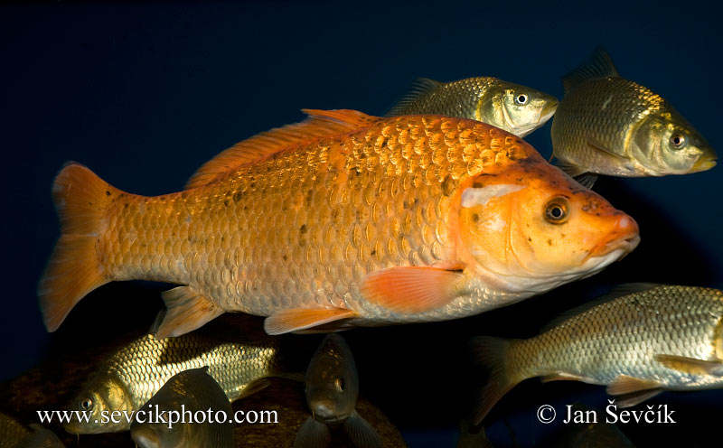 Picture of kapr koi cyprinus carpio karpfen common carp for Cyprinus carpio koi