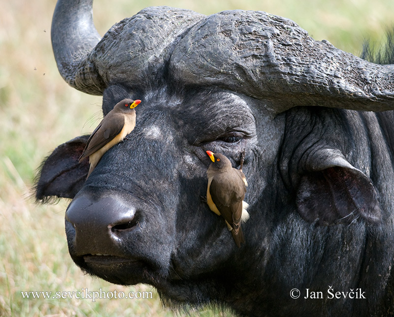 Photo of klubák žlutozobý Buphagus africanus Yellow-billed Oxpecker Gelbschnabel -Madenhacker