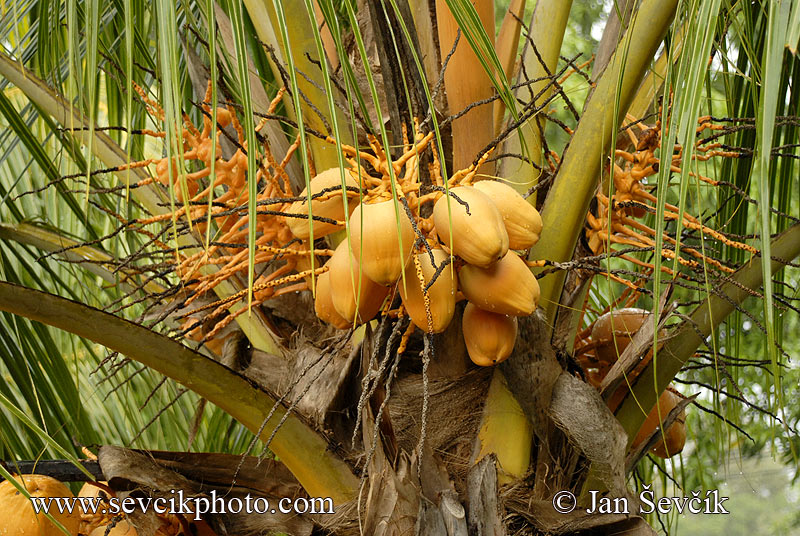 palmas de coco. Picture of kokosová palma