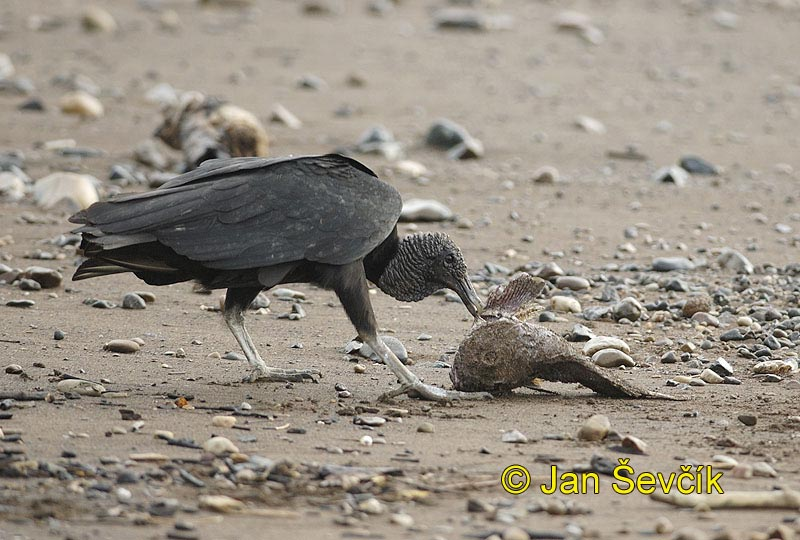 Photo of kondor havranovitý, Black Vulture, Rabengeier, Gallinago Negro, Coragyps atratus