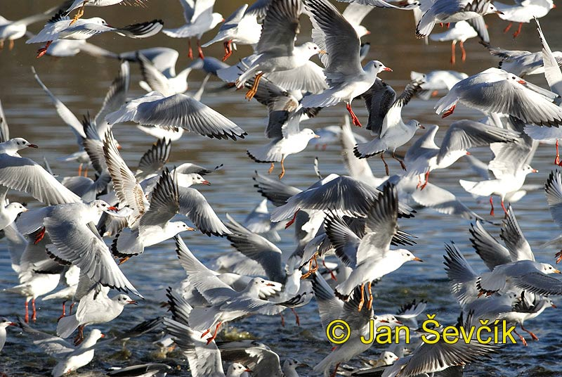 Photo of Larus ridibundus, Lachmöwe, Black-headed Gull, racek chechtavý