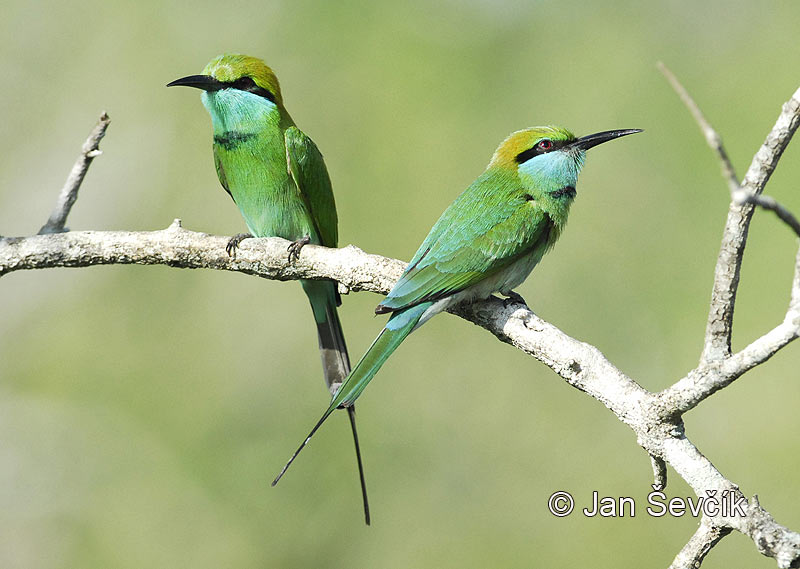 Photo of  vlha východní Merops orientalis Green Bee-eater Smaragdspint