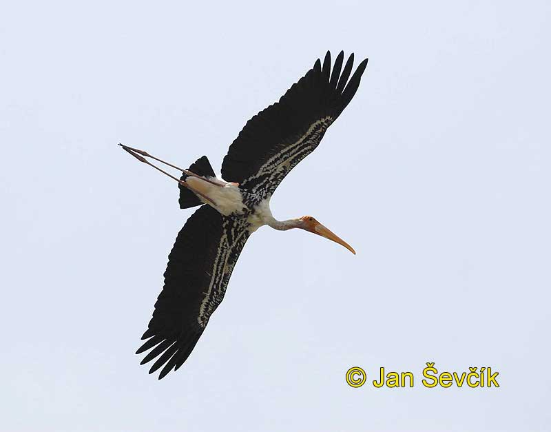Photo of nesyt indomalajský, Mycteria leucocephala, Painted Stork