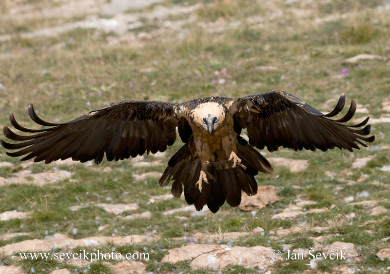 Photo of orlosup bradatý Gypaetus barbatus Bearded Vulture Bartgeier
