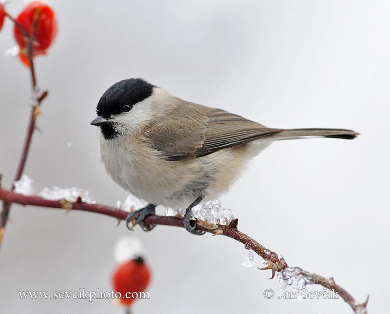 Photo of sýkora babka Parus palustris Marsh Tit Sumpfmeise