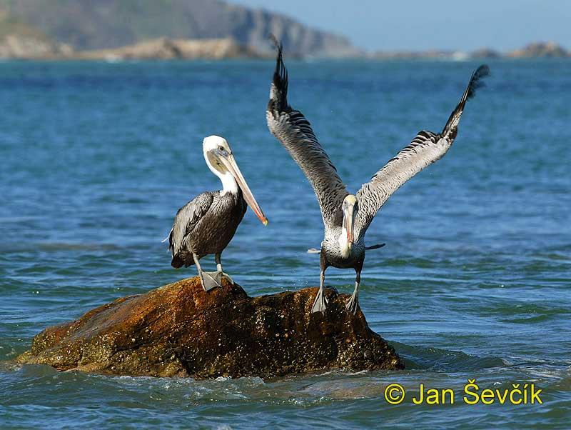 http://www.sevcikphoto.com/images/pelecanus_occidentalis_3.jpg