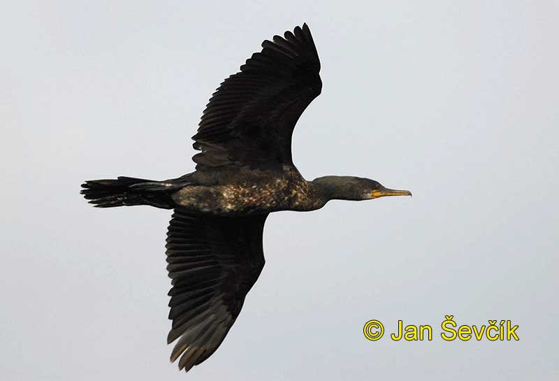 Photo of kormorán indomalajský, Phalacrocorax fuscicollis, Indian Cormorant