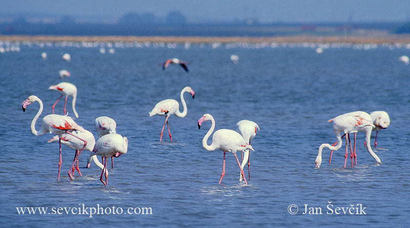 Photo of plameňák růžový Phoenicopterus roseus Greater Flamingo