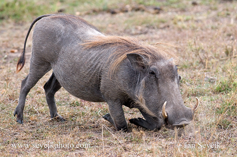 Picture of prase savanov phacochoerus africanus common warthog photo of prase savanov phacochoerus africanus common warthog warzenschwein ngiri altavistaventures Image collections