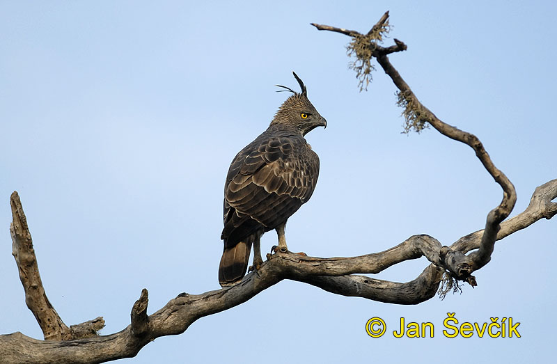 Photo of orel proměnlivý, Spizaetus cirrhatus, Crested hawk-Eagle, Haubenadler