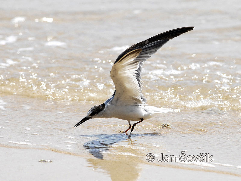 Photo of rybák malý Sterna albifrons Little Tern Zwergseeschwalbe