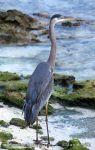 Photo of volavka velká Ardea herodias Great Blue Heron Kanadareiher Garza Azulada
