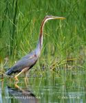 Photo of volavka červená Ardea purpurea Purpurreiher Purple Heron