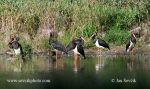 Photo of čáp černý Ciconia nigra Black Stork Schwarzer Storch