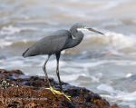 Photo of volavka západní Egretta gularis Western reef Heron