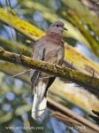 Photo of Hrdlička senegalská Streptopelia senegalensis Laughing Dove Senegaltaube