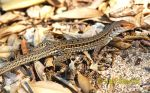 Photo of Ameiva bifrontata