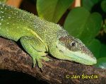 Photo of anolis ryt��sk�, Anolis equestris persparsus, Chipojo, Cuban Knight Anole, Ritteranolis.