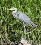 Photo of volavka velká Ardea herodias Great Blue Heron Kanadareiher Garza