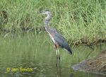 Photo of volavka velká, Ardea herodias, Great Blue Heron, Kanadareiher, Garza Azulada