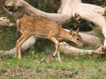 Photo of axis indický Axis axis Spotted Deer Axishirsche