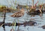 Photo of bekasina otavní Gallinago gallinago Snipe Bekassine