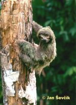 Photo of lenochod hnědokrký, Brown-throated three-toed sloth, Drei finger faultiere, Bradypus var.