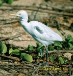 Photo of volavka rusovlasá, Bubulcus ibis, Cattle Egret