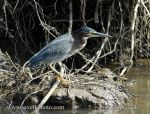 Photo of volavka proměnlivá Butorides striatus Green-backed Heron Garza Dorsiverde