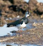 Photo of čejka chocholatá Vanellus vanellus Kiebitz Lapwing