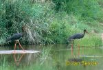 Photo of čáp černý, Ciconia nigra, Black Stork, Schwarzer Storch