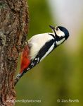 Photo of strakapoud velký Dendrocopos major Great Spotted Woodpecker