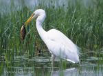 Photo of volavka bílá Egretta alba Silberreiher Great egret
