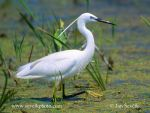 Photo of volavka stříbřitá Egretta garzetta Little Egret Seidenreiher