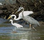 Photo of volavky herons