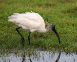 Photo of ibis černohlavý Threskiornis melanocephalus Black-headed Ibis Schwarzkopfibis
