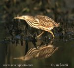Photo of bukáček malý Ixobrychus minutus Zwergrohrdommel Little Bittern