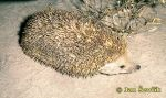 Photo of je�ek u�at�, Long-eared Hedgehog, Grossohrigel, Hemiechinus auritus.