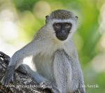 Photo of kočkodan obecný Cercopithecus aethios Green Monkey Grune Meerkatze