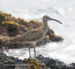 Photo of koliha malá Numenius phaeopus Whimbrel Zarapito Trinador Regenbrauchvogel