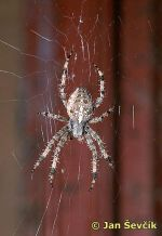 Photo of k�i��k, Araneus diadematus.