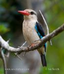 Photo of ledňáček senegalský Halcyon senegalensis Woodland Kingfisher Senegalliest